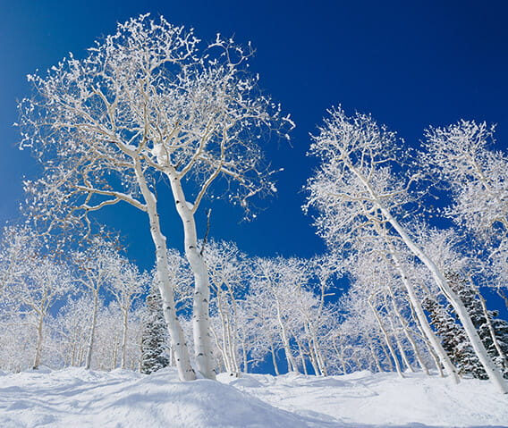 Aspen trees blanketed in snow.