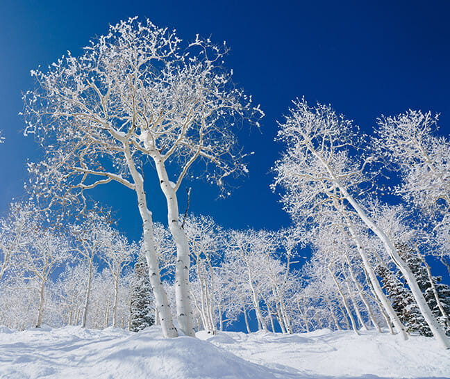 Aspen trees covered in snow.